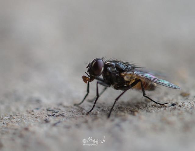 Madame la mouche en pleine réflexion ...  Mrs the fly in full reflection ...