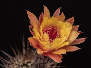 Kaktus Hildewintera Hybr.