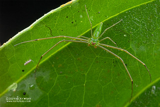 Crab spider (Loxobates sp.) - DSC_2766