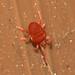 Red velvet mite (Trombidium sp)