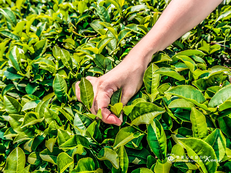 miaoli-tea-26
