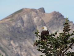 Bald eagle's domain