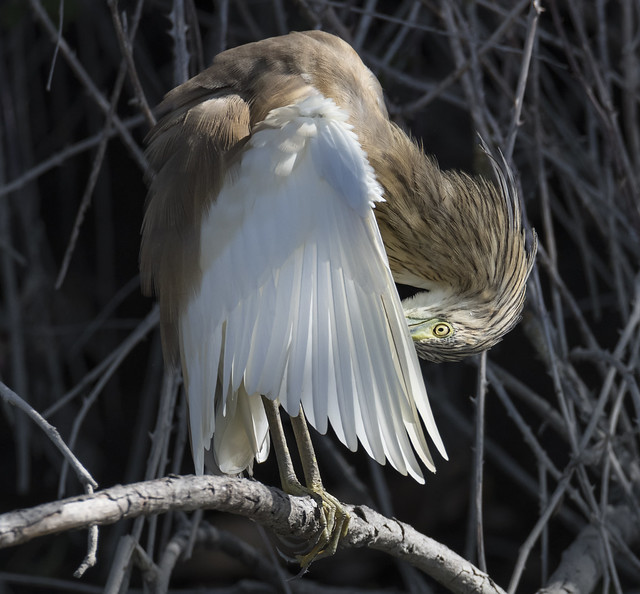 Papa Ratos | Ardeola ralloides | Squacco Heron