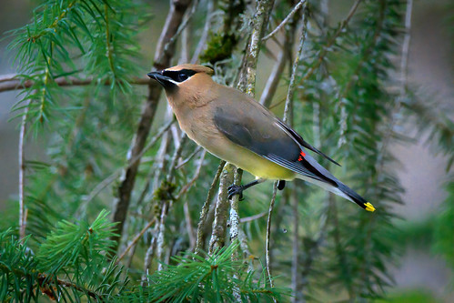 Cedar waxwing in pine tree in the North Cascades, Washington State