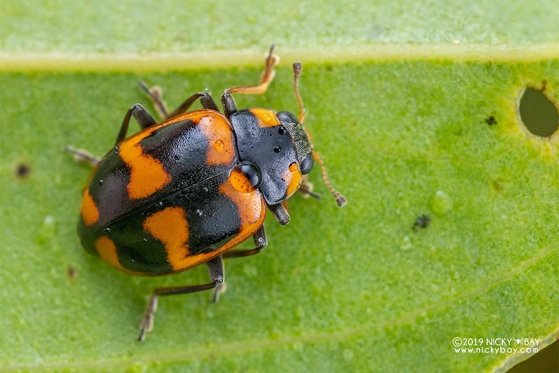 Ladybird beetle (Hysia endomycina) - DSC_3087