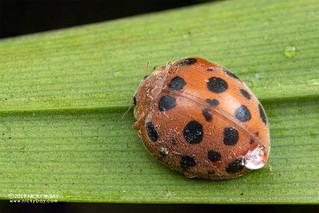 Ladybird beetle (Epilachnini) - DSC_3071