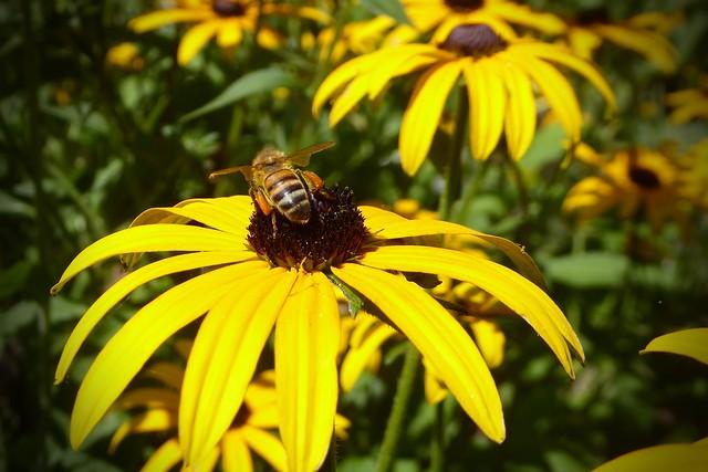 Bee on Rudbeckia