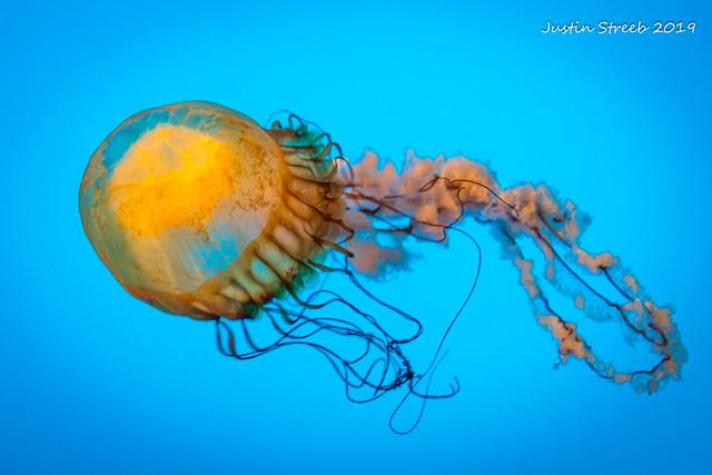Aquarium Jellyfish 2