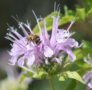 A Honey Bee collecting nectar from a Monarda Plant(Bee Balm)