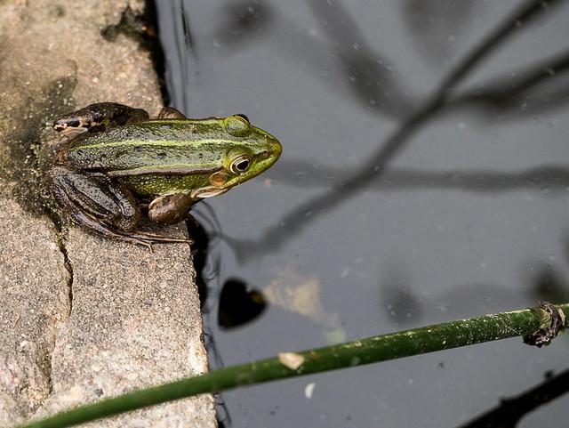A frog, Zegrze Lake, near Warsaw, Poland