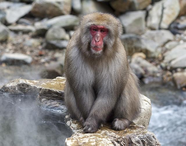 Male Japanese macaque, Jigokudani Yaen Kōen, Yamanouchi, Jōshin'etsu-kōgen National Park, Nagano Prefecture, Japan