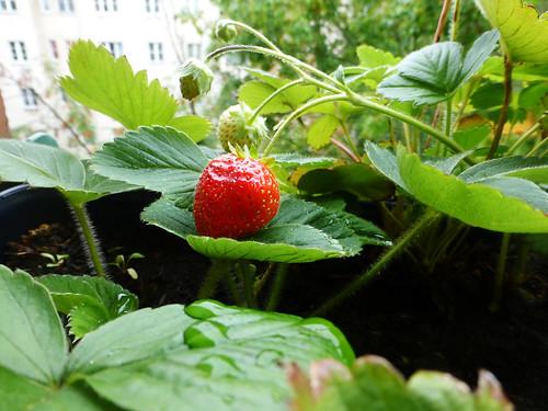 Erdbeeren im September