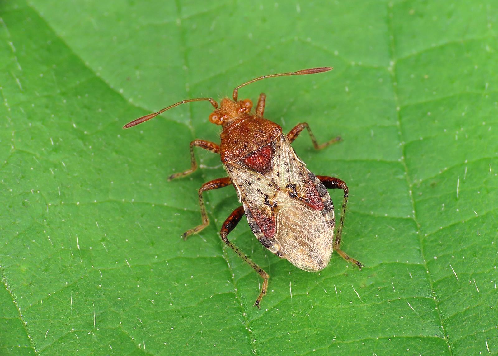 Rhopalus subrufus