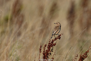 Autumn Whinchat