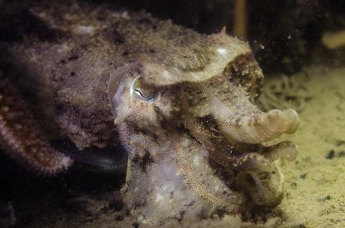 Sandman (Sepia officinalis) sub-adult