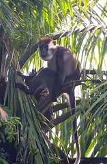 Red-Capped mangabey, Rembi Ngowe River, Loango National Park, Gabon
