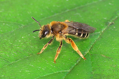 Yellow-legged Furrow Bee - Halictus rubicundus