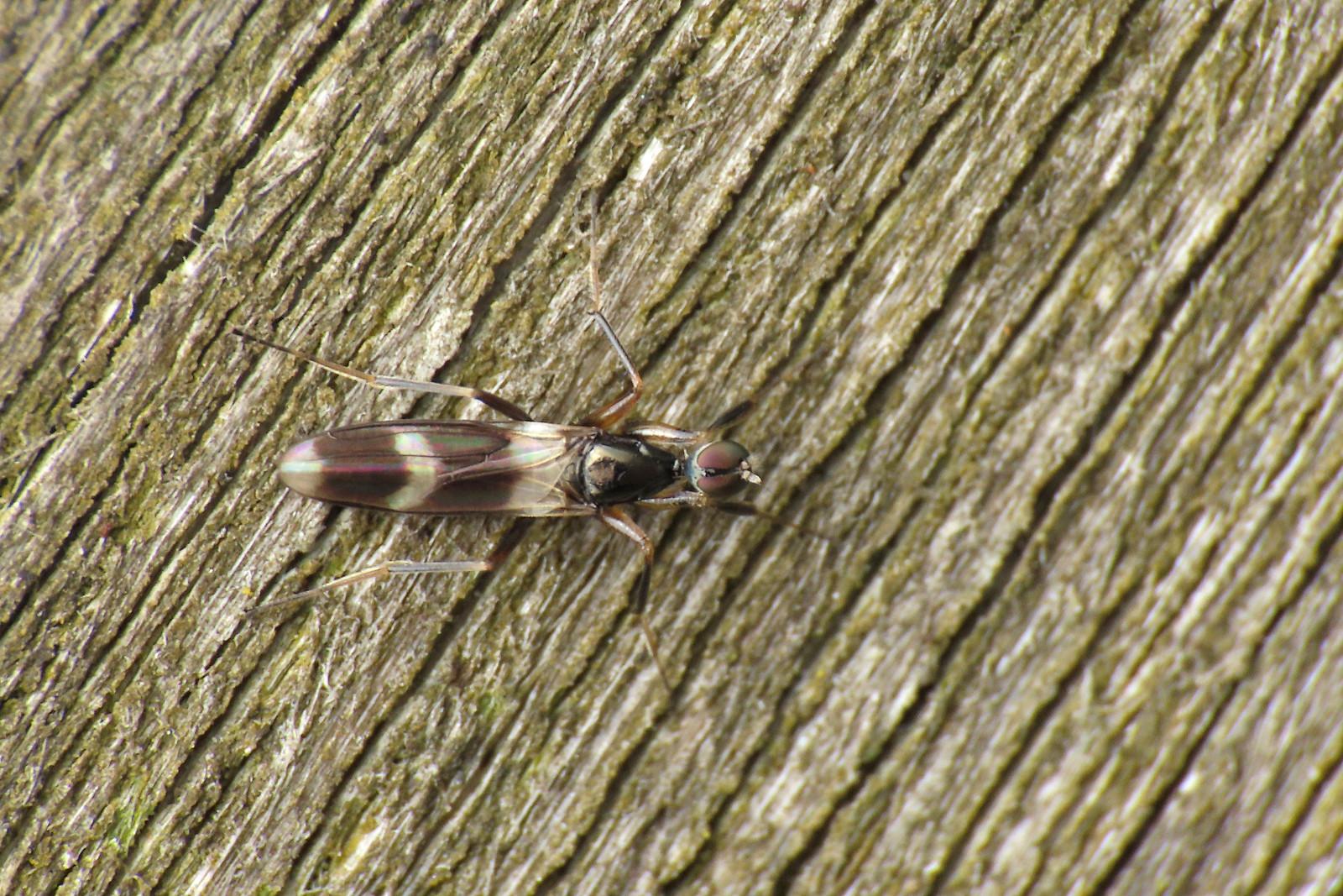 Hybotidae