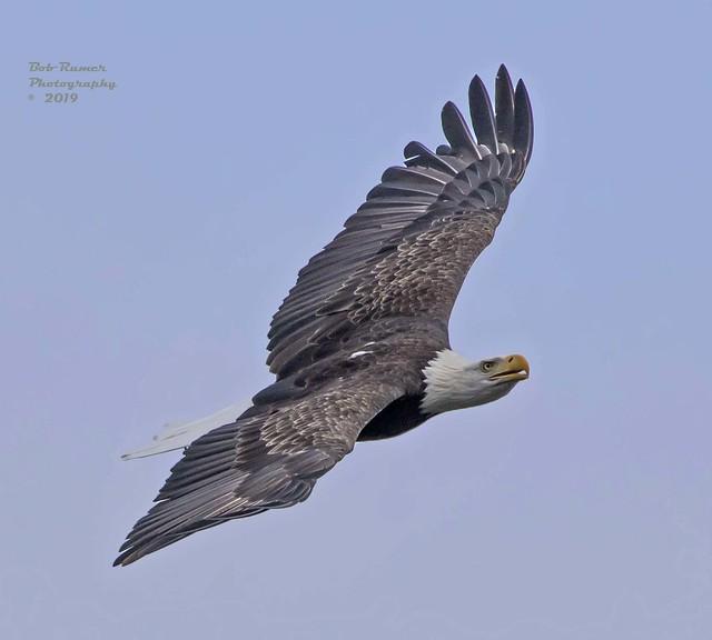 Bald Eagle Adult 2.