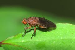 Suillia affinis [A]