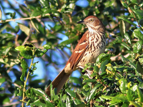 Brown Thrasher 05-20190910