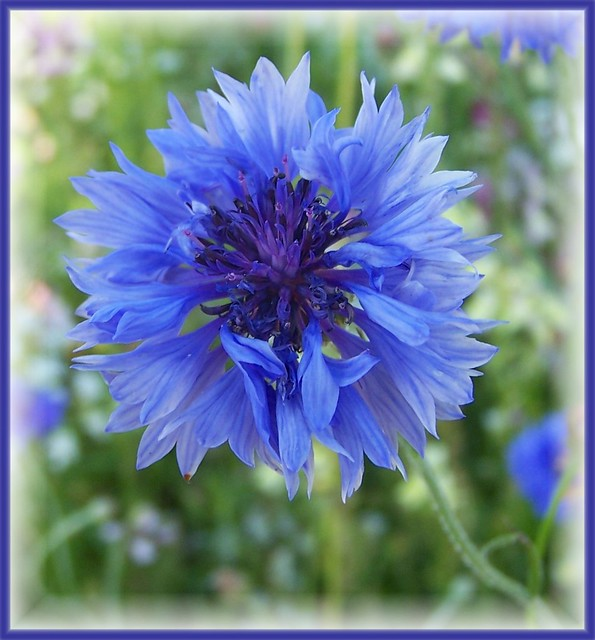 Cornflower in Blue for Jan