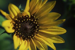 Sunflowers In the Bosque 3