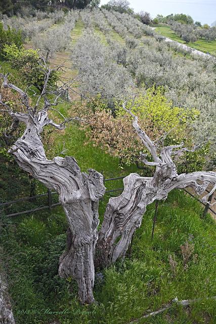 L'antenato degli olivi - The olive's ancestor