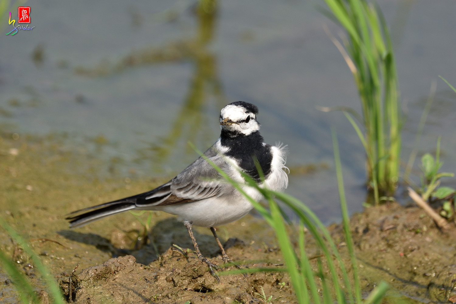 White_Wagtail_7854