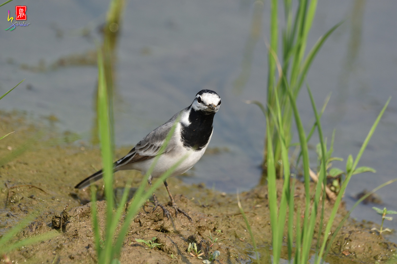 White_Wagtail_7830
