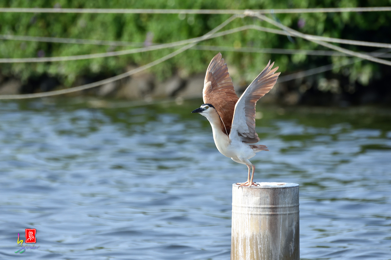 Rufous_Night_Heron_7576