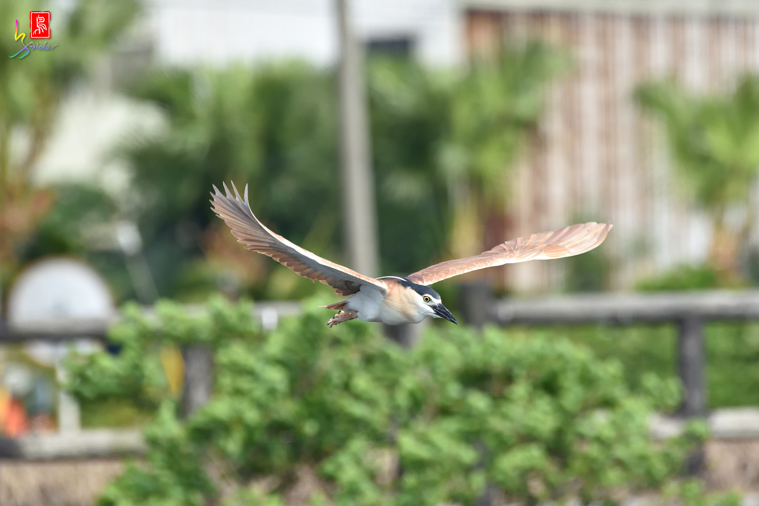 Rufous_Night_Heron_7275