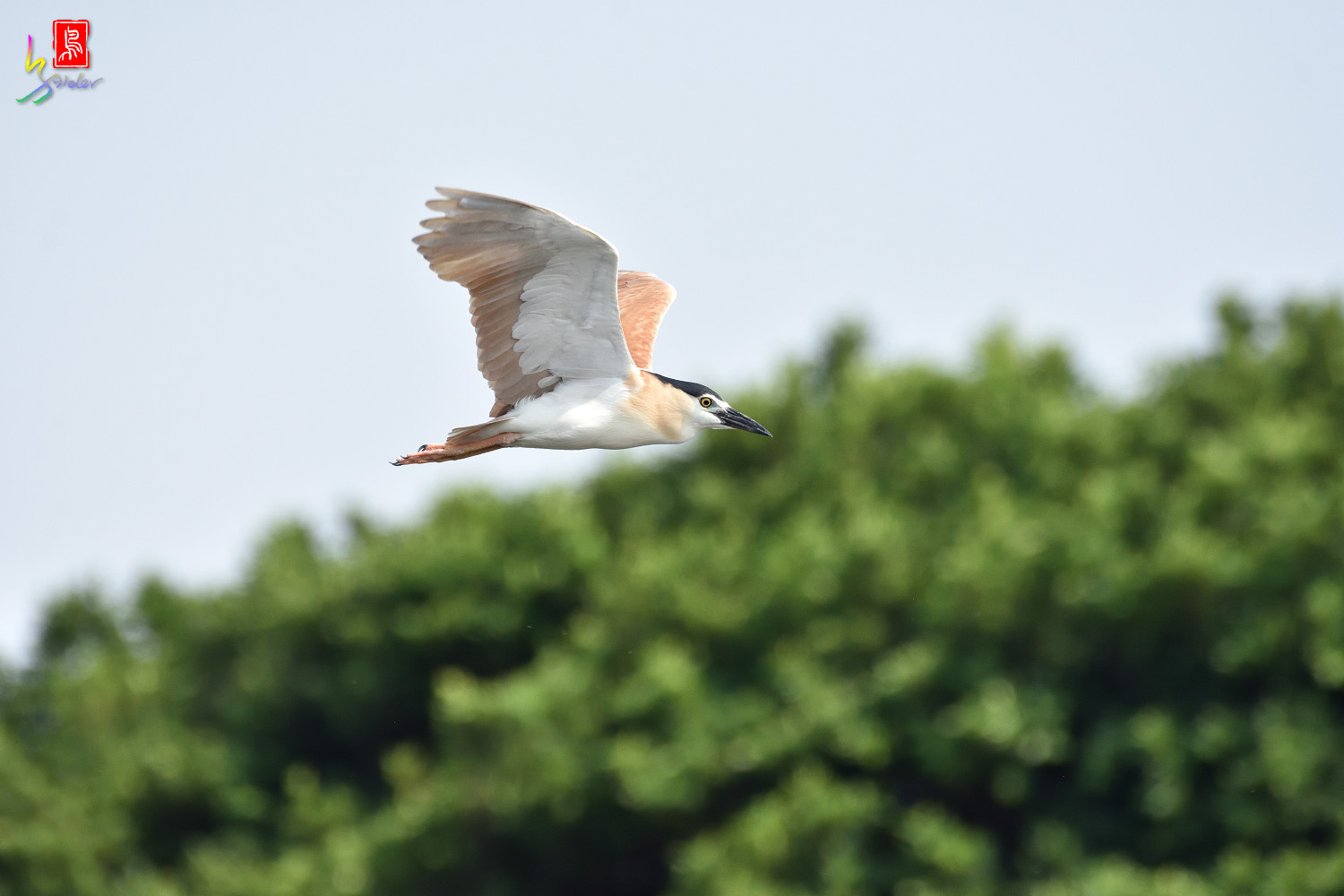 Rufous_Night_Heron_7169
