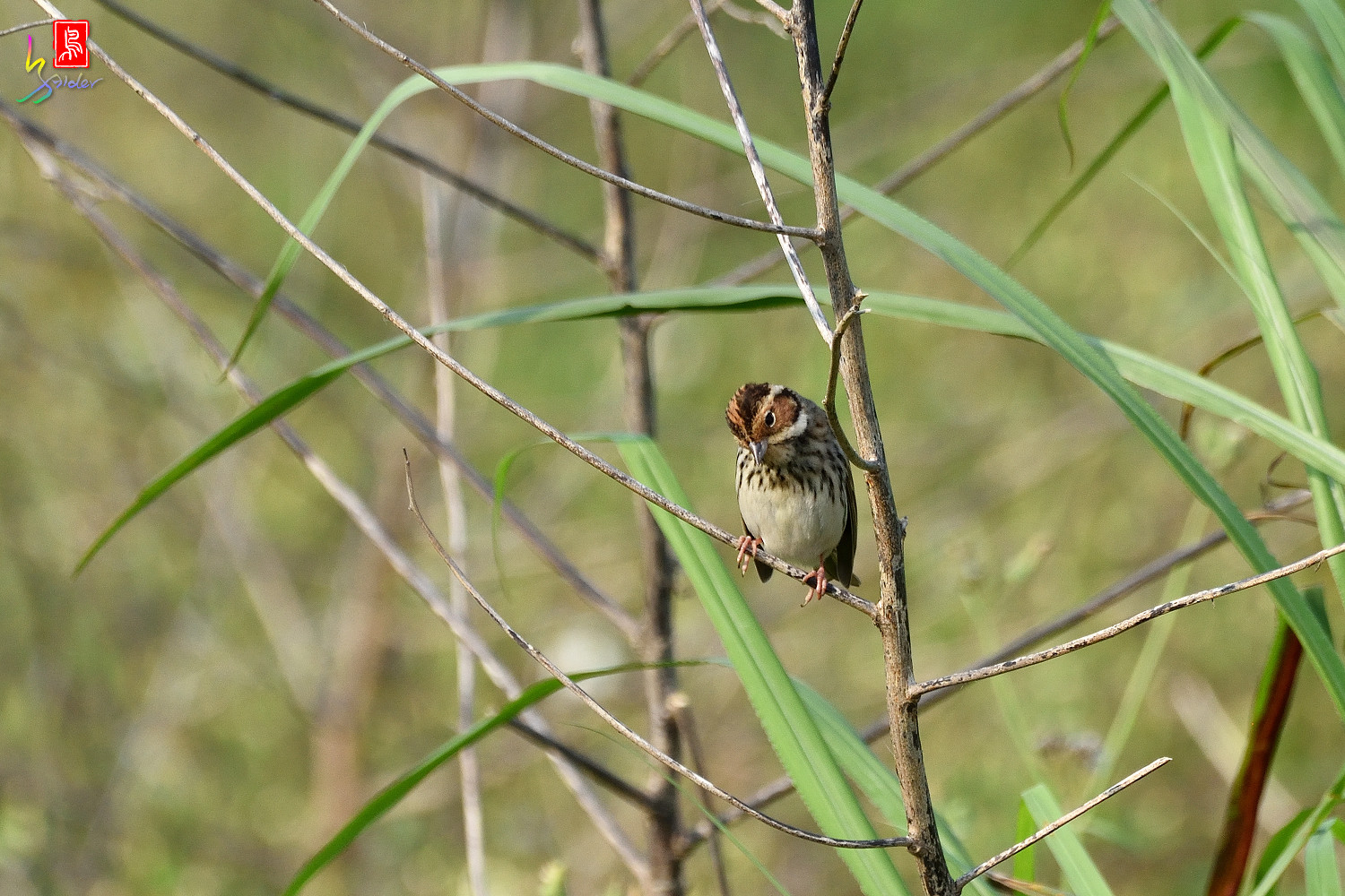 Little_Bunting_8038
