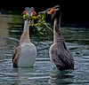 Courting Australasian great crested grebes