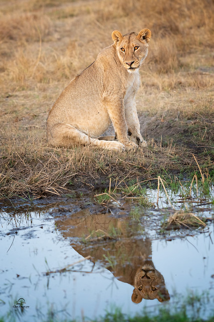 Reflective Lioness
