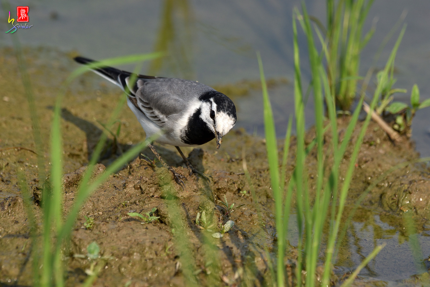 White_Wagtail_7901