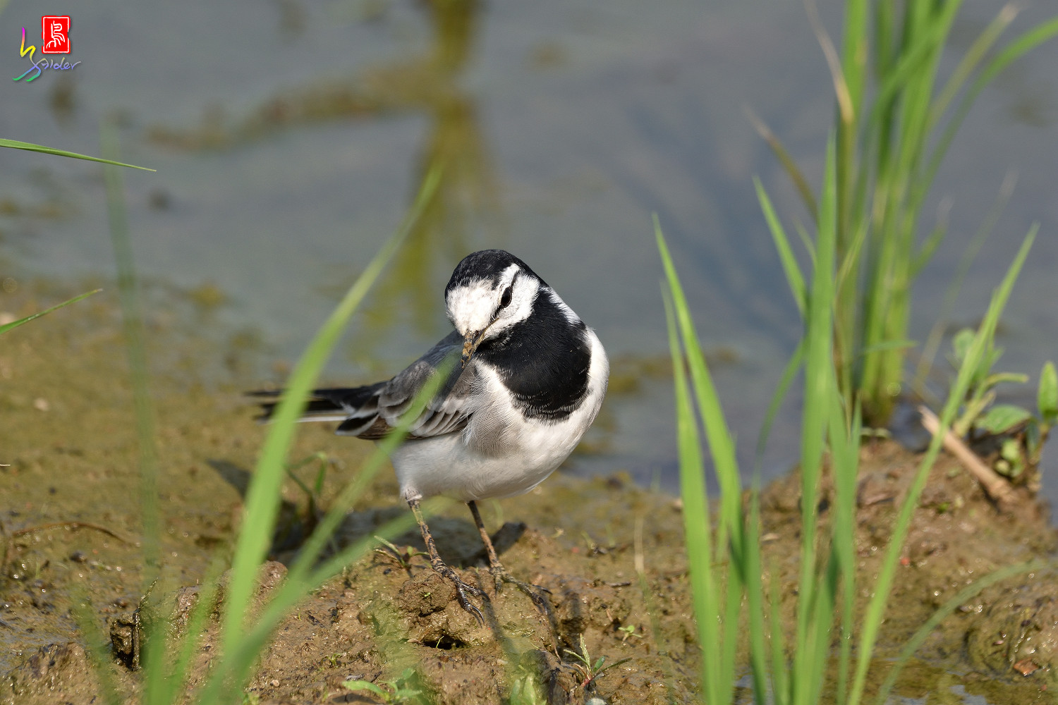 White_Wagtail_7873