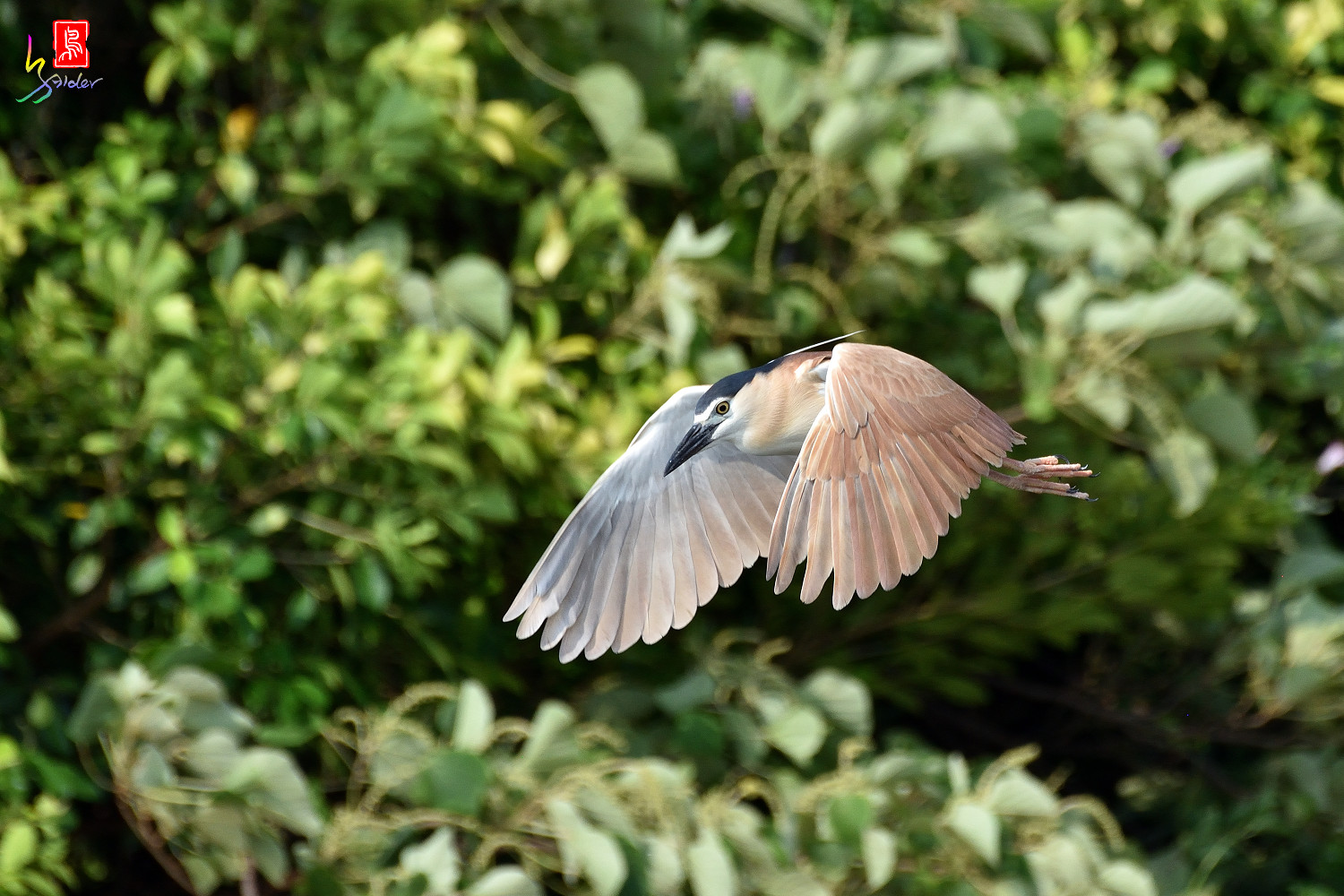 Rufous_Night_Heron_7404
