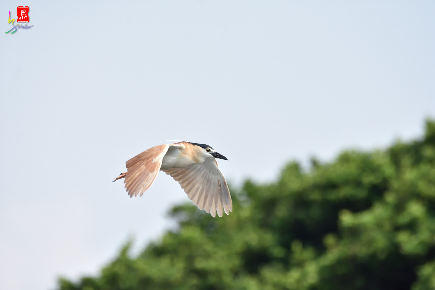 Rufous_Night_Heron_7168