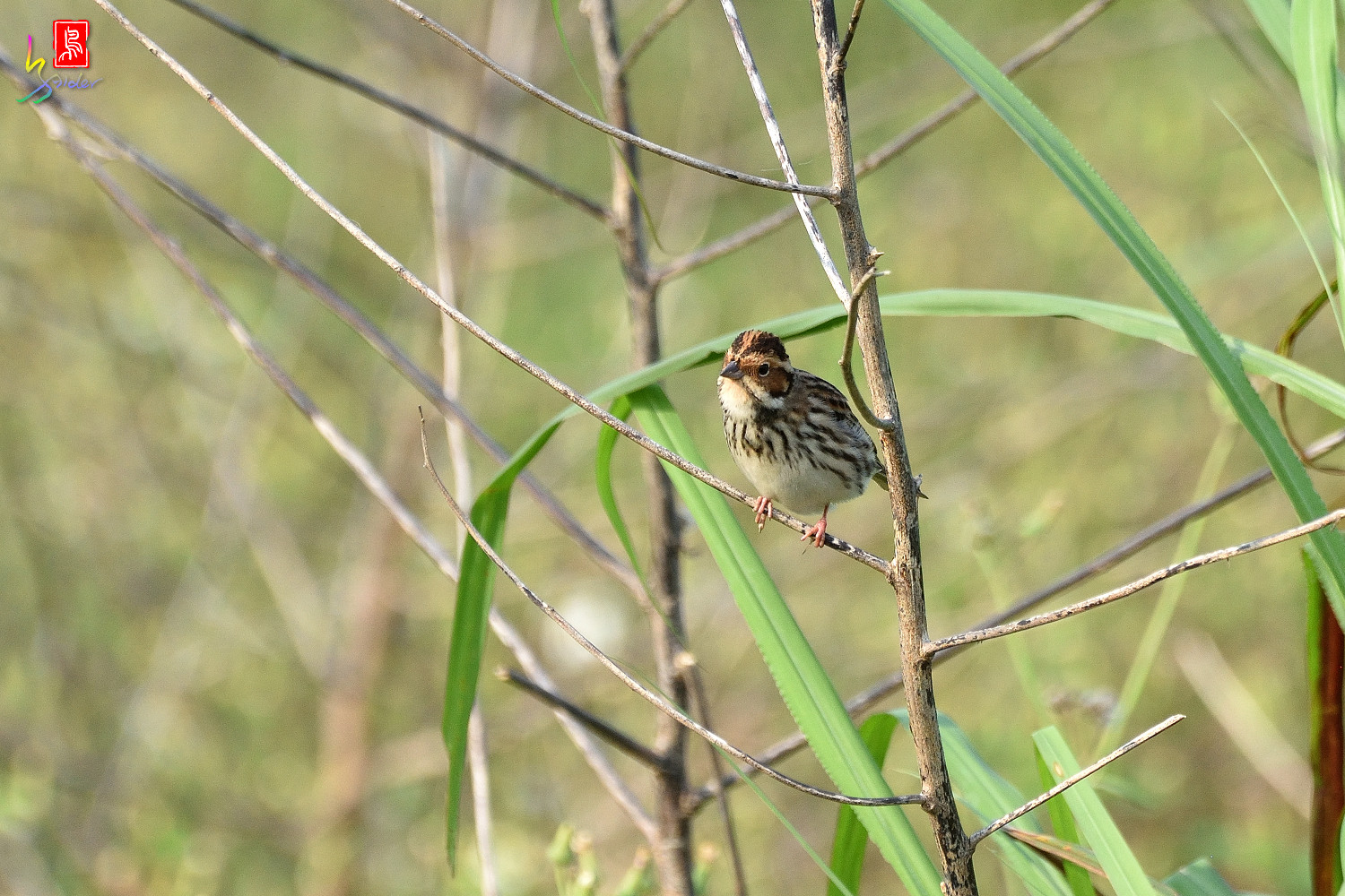 Little_Bunting_8045
