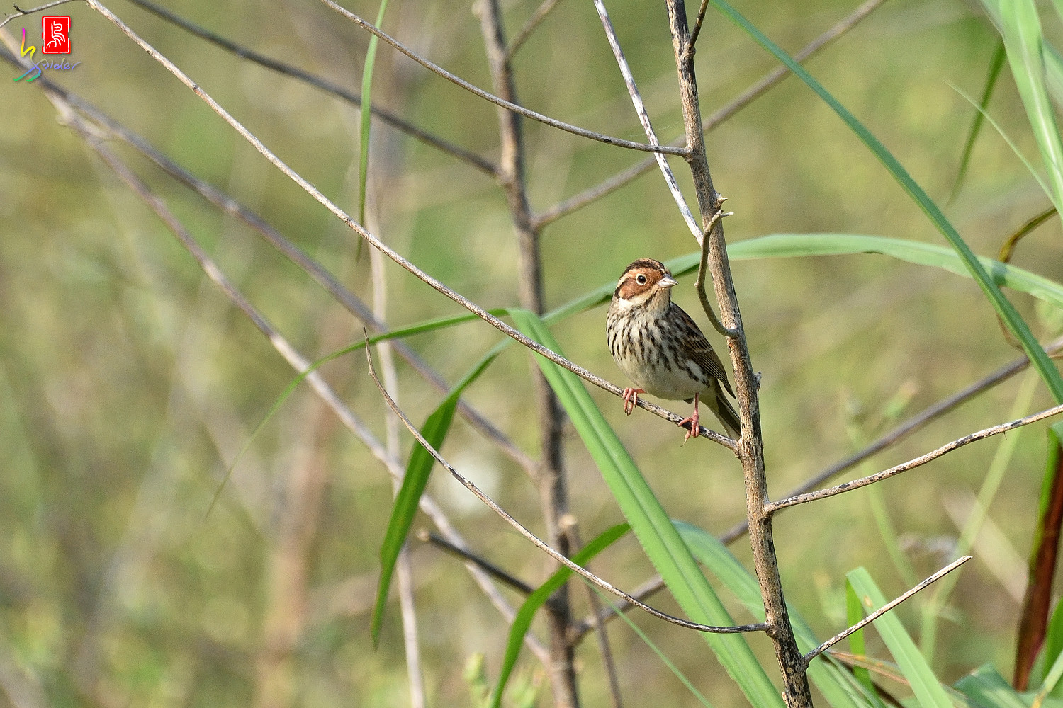 Little_Bunting_8012