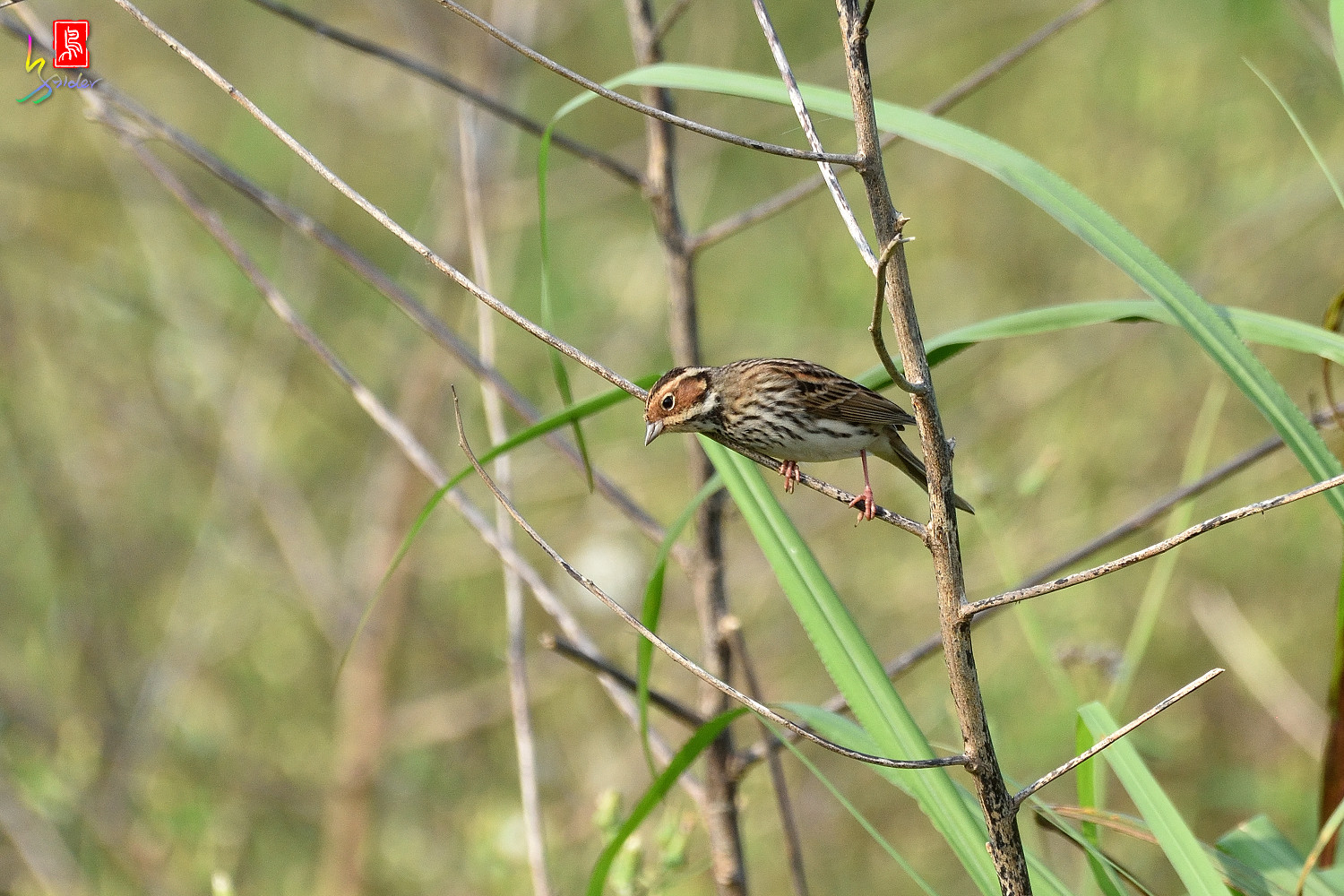 Little_Bunting_8008