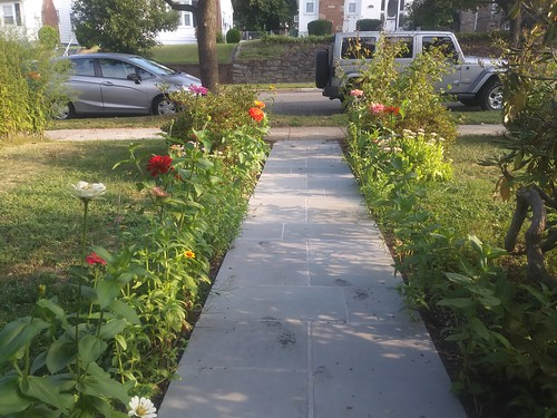 The walkway lined with zinnias
