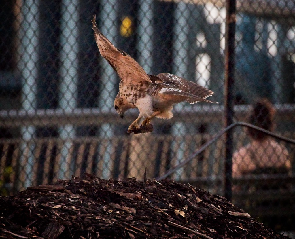 Red-tail playing with a bark chip