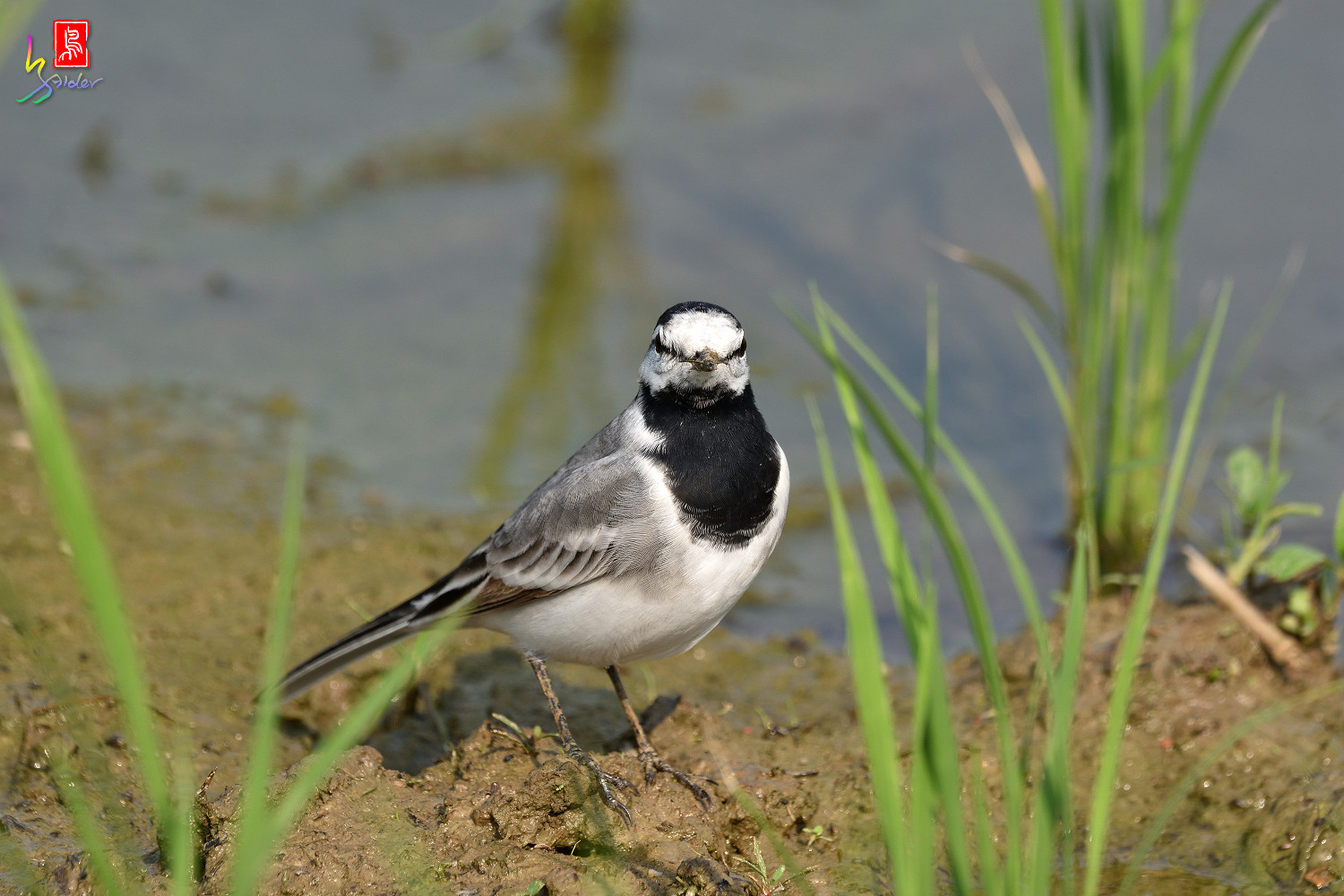 White_Wagtail_7870