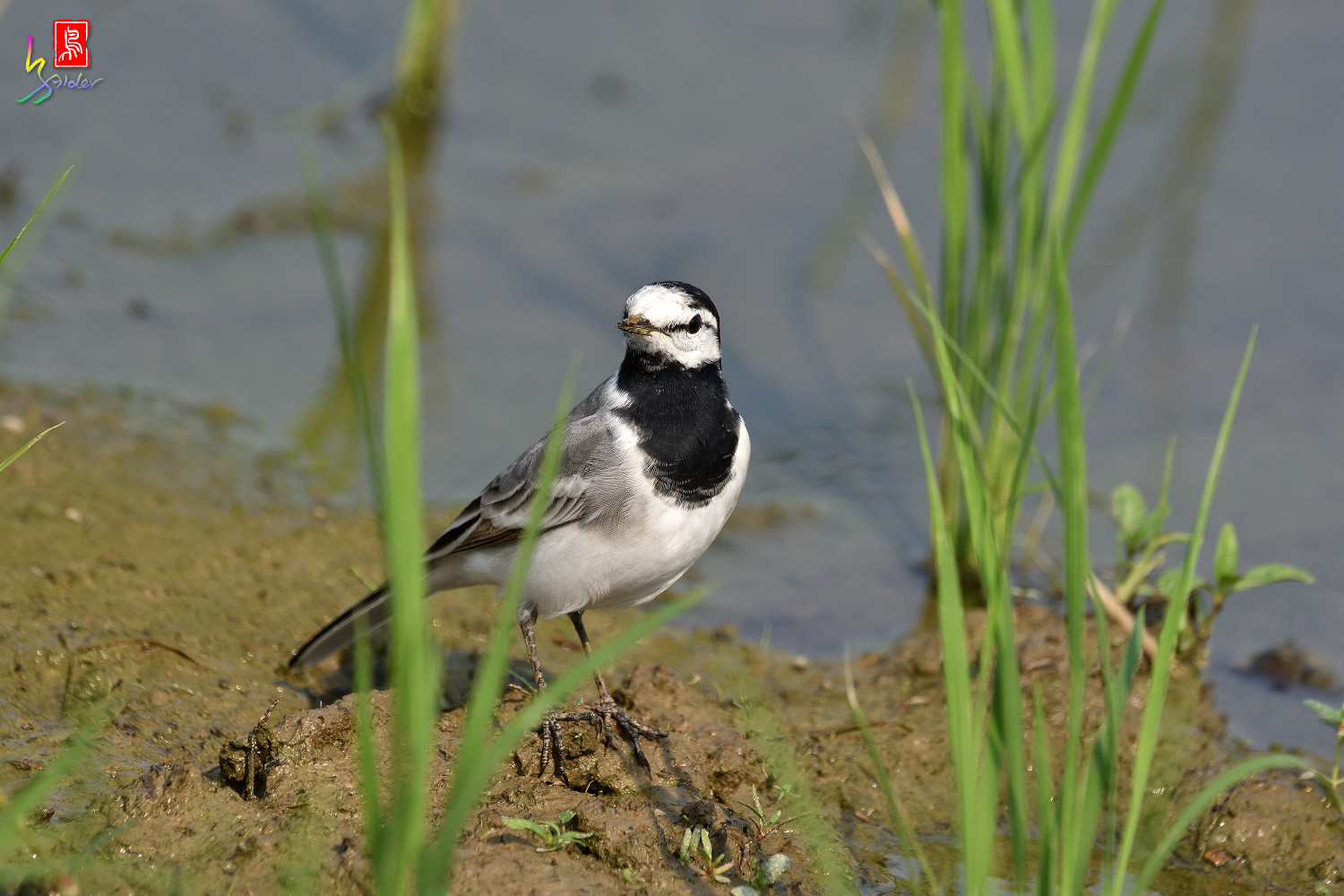 White_Wagtail_7813
