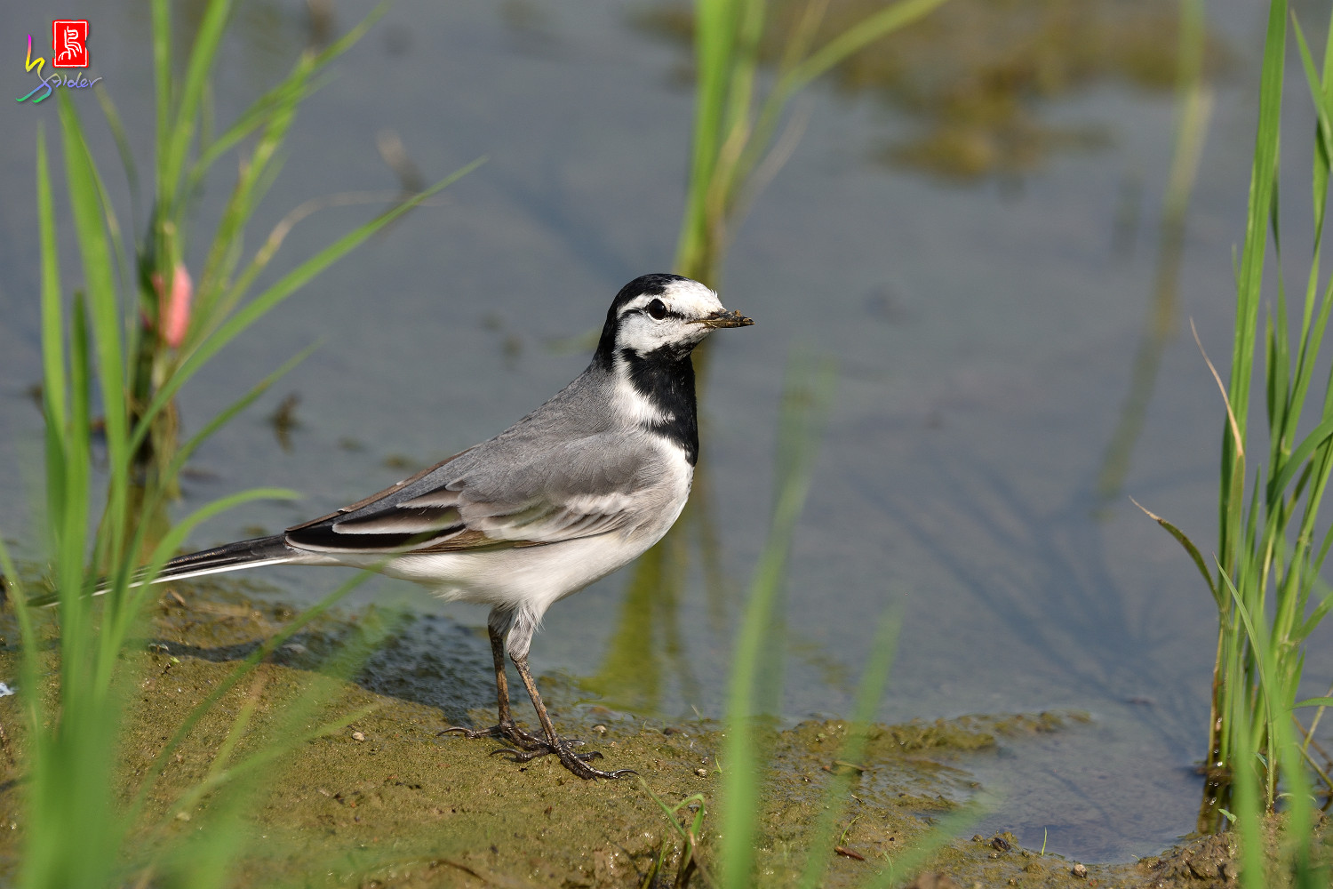 White_Wagtail_7748