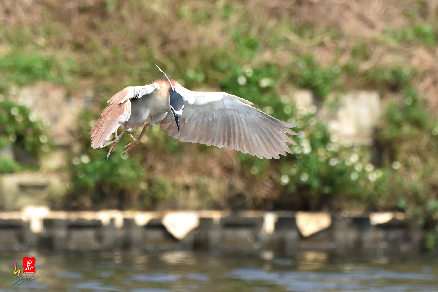 Rufous_Night_Heron_7184