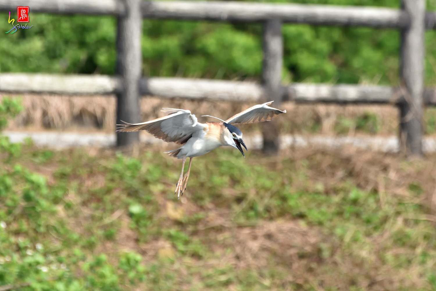 Rufous_Night_Heron_7181